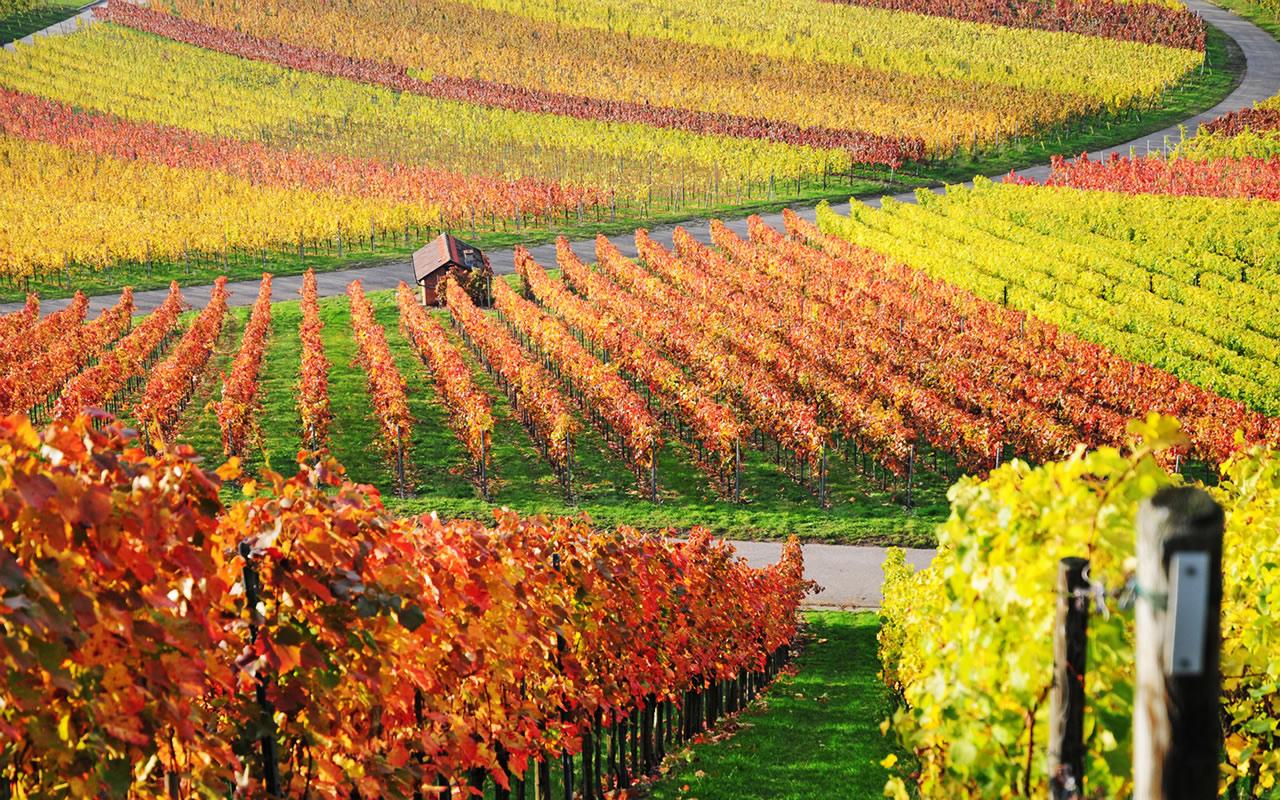 Wine-Vineyard-Italy
