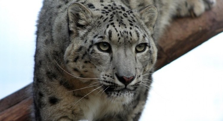 snowleopard_male