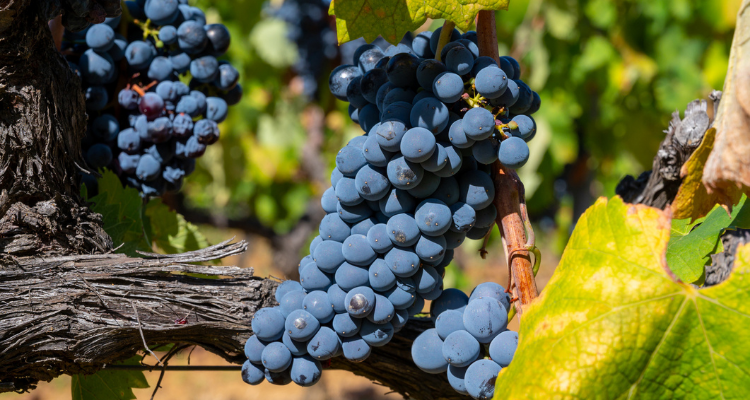 Grapes in Luberon, Provence, France