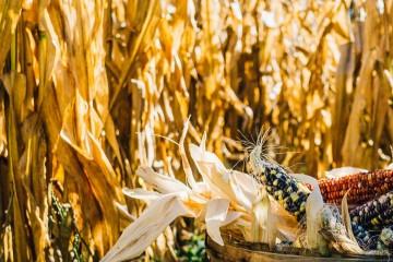 Unplash image - Corn