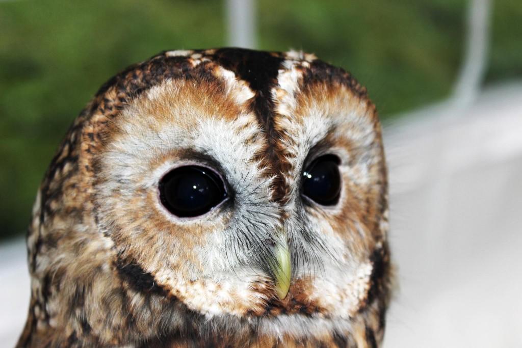 Happisburgh Owls - Norfolk