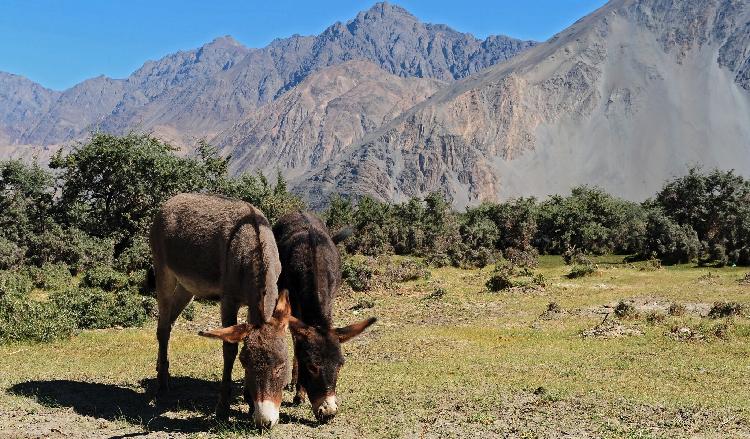 Donkey iStock