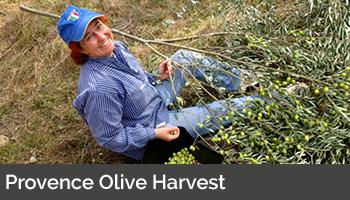 Provence Olive Harvest