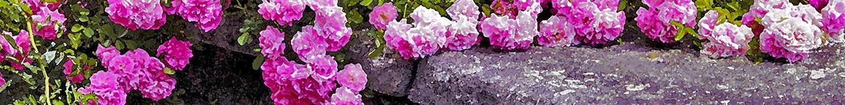 Pink Flowers, Lake Como