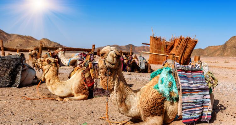 Camels in Lanzarote