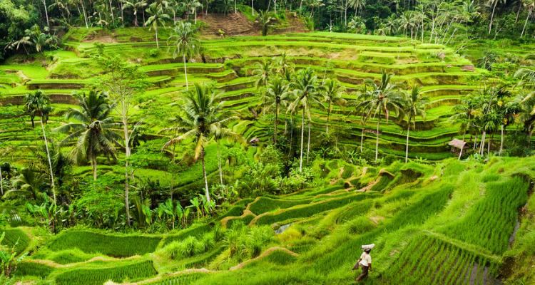 Ubud rice terraces, Bali