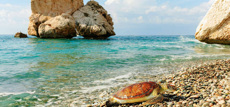 Sea turtles nest on the sandy beaches north of Paphos