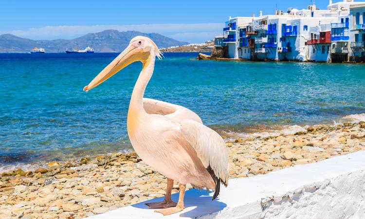 Pelican in Mykonos