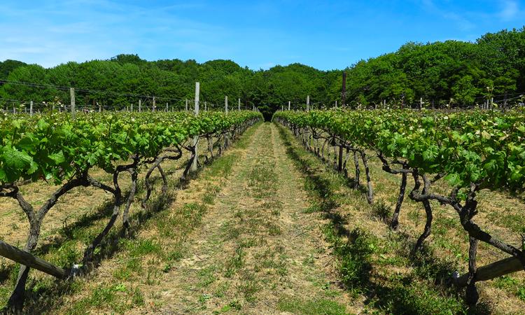 Vineyard Kent