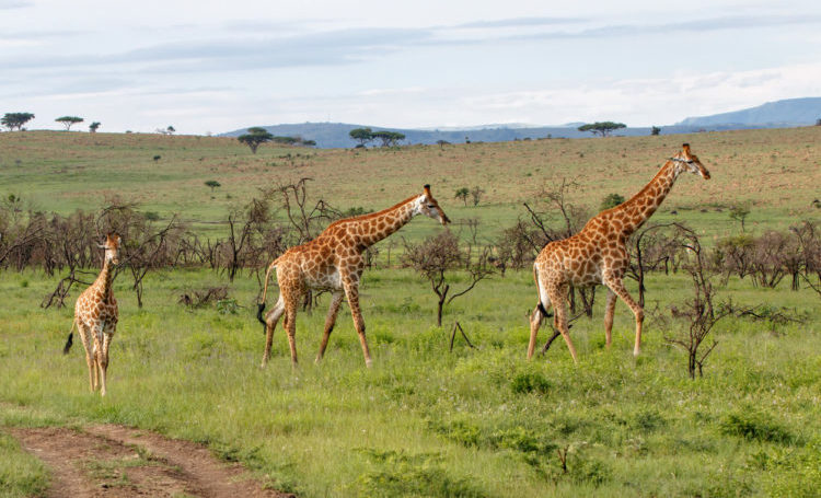 Giraffes in the hills of Nambiti Game Reserve in South Africa