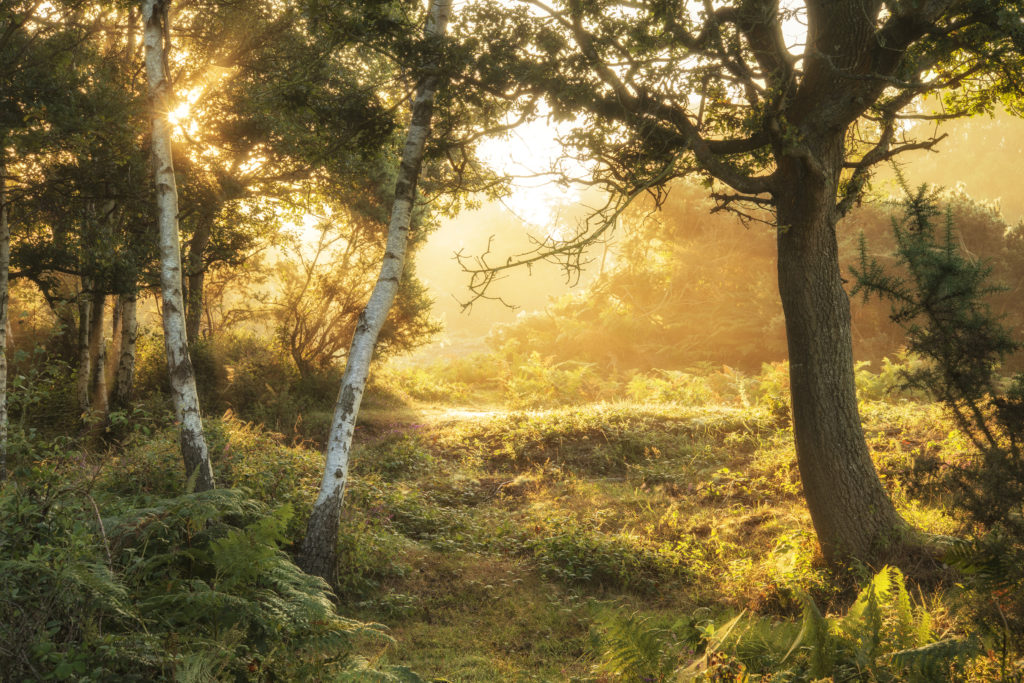 Stunning sunrise landscape in misty New Forest